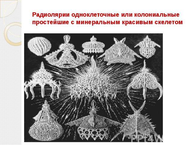 Радиолярии одноклеточные или колониальные простейшие с минеральным красивым скелетом