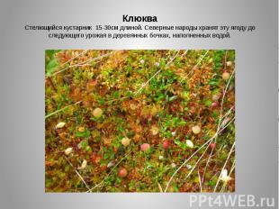 КлюкваСтелющийся кустарник 15-30см длиной. Северные народы хранят эту ягоду до с