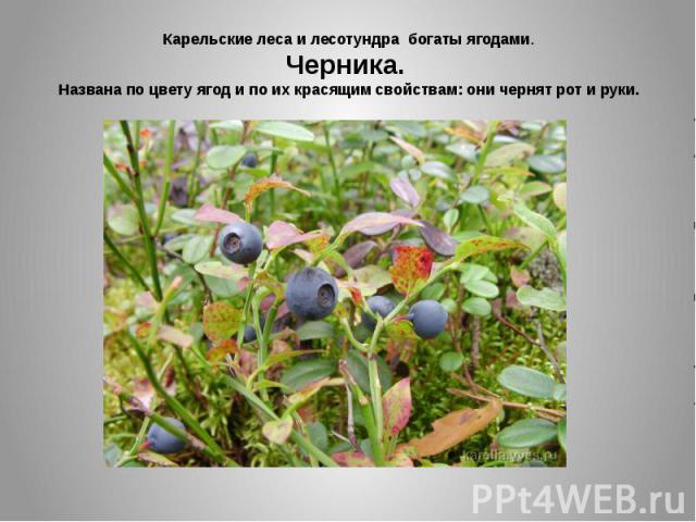 Карельские леса и лесотундра богаты ягодами. Черника. Названа по цвету ягод и по их красящим свойствам: они чернят рот и руки.