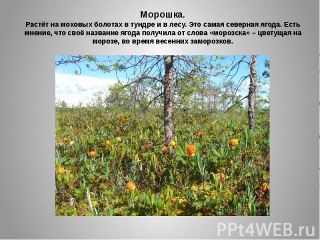 Морошка.Растёт на моховых болотах в тундре и в лесу. Это самая северная ягода. Есть мнение, что своё название ягода получила от слова «морозска» – цветущая на морозе, во время весенних заморозков.