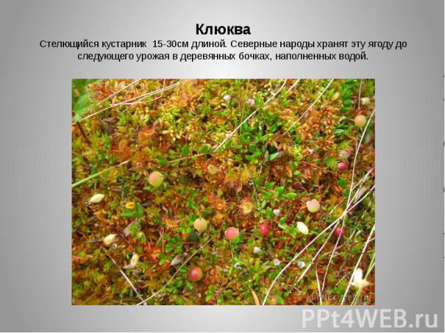 КлюкваСтелющийся кустарник 15-30см длиной. Северные народы хранят эту ягоду до следующего урожая в деревянных бочках, наполненных водой.
