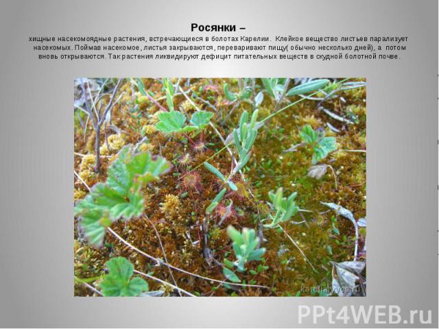Росянки – хищные насекомоядные растения, встречающиеся в болотах Карелии. Клейкое вещество листьев парализует насекомых. Поймав насекомое, листья закрываются, переваривают пищу( обычно несколько дней), а потом вновь открываются. Так растения ликвиди…