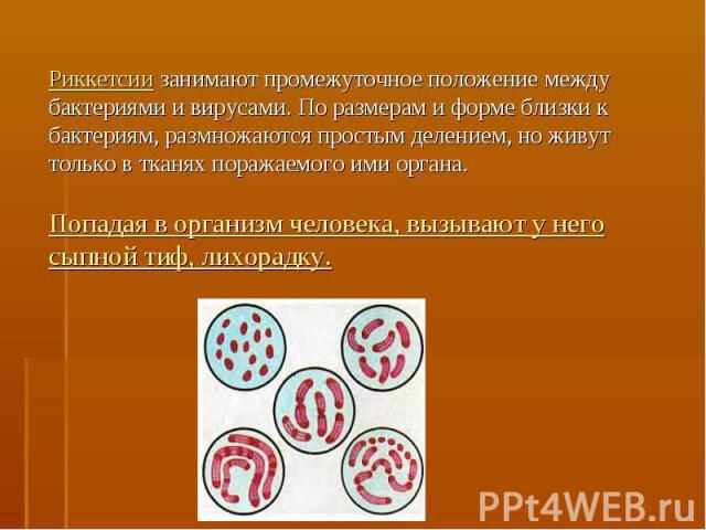 Риккетсии занимают промежуточное положение между бактериями и вирусами. По размерам и форме близки к бактериям, размножаются простым делением, но живут только в тканях поражаемого ими органа.Попадая в организм человека, вызывают у него сыпной тиф, л…