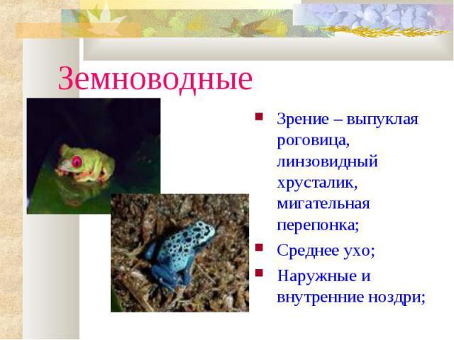 ЗемноводныеЗрение – выпуклая роговица, линзовидный хрусталик, мигательная перепонка;Среднее ухо;Наружные и внутренние ноздри;