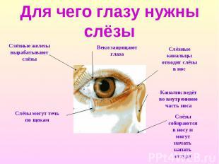 Для чего глазу нужны слёзы Слёзные железы вырабатывают слёзы Слёзы могут течь по
