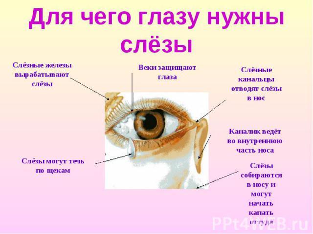 Для чего глазу нужны слёзы Слёзные железы вырабатывают слёзы Слёзы могут течь по щекам Веки защищают глаза Слёзные канальцы отводят слёзы в нос Каналик ведёт во внутреннюю часть носа Слёзы собираются в носу и могут начать капать оттуда