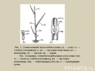 Рис. 1. Схема нижней части побега злака: уз. — узел; ст. — стебель (соломина); л
