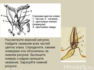 Рассмотрите верхний рисунок. Найдите названия всех частей цветка злака. Определи