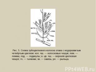 Рис. 5. Схема трёхцветкового колоска злака с недоразвитым четвёртым цветком: кол