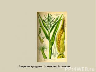 Соцветия кукурузы : 1- метелка; 2- початок