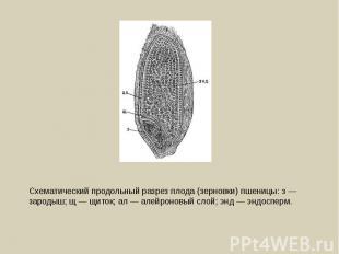 Схематический продольный разрез плода (зерновки) пшеницы: з — зародыш; щ — щиток