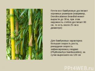 Почти все бамбуковые достигают огромных размеров (например, Dendrocalamus brandi