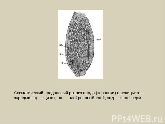 Схематический продольный разрез плода (зерновки) пшеницы: з — зародыш; щ — щиток; ал — алейроновый слой; энд — эндосперм.