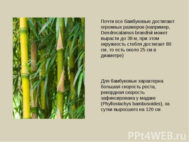 Почти все бамбуковые достигают огромных размеров (например, Dendrocalamus brandisii может вырасти до 38 м, при этом окружность стебля достигает 80 см, то есть около 25 см в диаметре) Для бамбуковых характерна большая скорость роста, рекордная скорос…