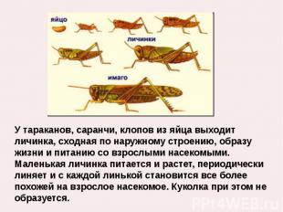 У тараканов, саранчи, клопов из яйца выходит личинка, сходная по наружному строе