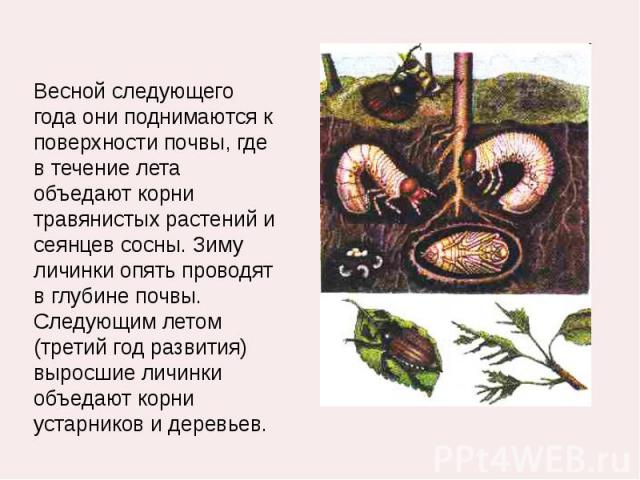 Весной следующего года они поднимаются к поверхности почвы, где в течение лета объедают корни травянистых растений и сеянцев сосны. Зиму личинки опять проводят в глубине почвы. Следующим летом (третий год развития) выросшие личинки объедают корни ус…