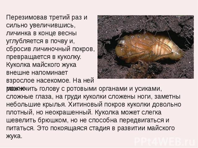 Перезимовав третий раз и сильно увеличившись, личинка в конце весны углубляется в почву и, сбросив личиночный покров, превращается в куколку. Куколка майского жука внешне напоминает взрослое насекомое. На ней можно различить голову с ротовыми органа…
