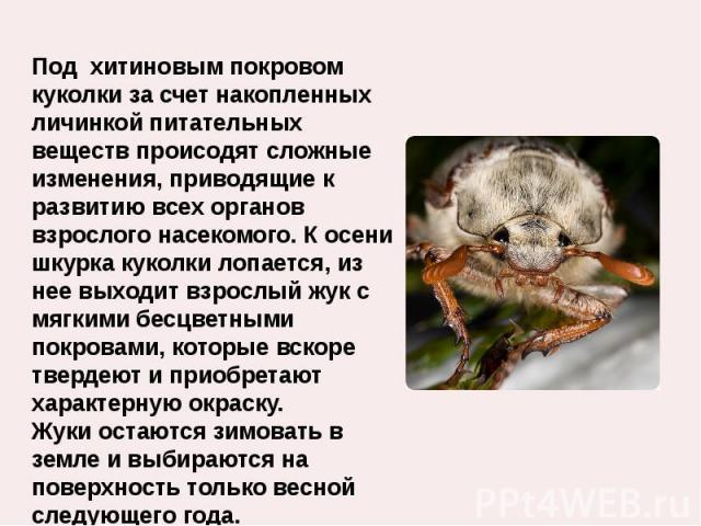 Под хитиновым покровом куколки за счет накопленных личинкой питательных веществ происодят сложные изменения, приводящие к развитию всех органов взрослого насекомого. К осени шкурка куколки лопается, из нее выходит взрослый жук с мягкими бесцветными …