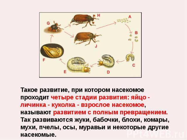 Такое развитие, при котором насекомое проходит четыре стадии развития: яйцо - личинка - куколка - взрослое насекомое, называют развитием с полным превращением. Так развиваются жуки, бабочки, блохи, комары, мухи, пчелы, осы, муравьи и некоторые други…