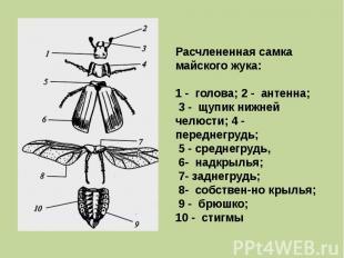 Расчлененная самка майского жука: 1 - голова; 2 - антенна; 3 - щупик нижней челю