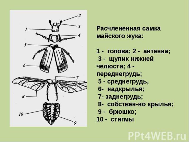 Расчлененная самка майского жука: 1 - голова; 2 - антенна; 3 - щупик нижней челюсти; 4 - переднегрудь; 5 - среднегрудь, 6- надкрылья; 7- заднегрудь; 8- собствен-но крылья; 9 - брюшко; 10 - стигмы