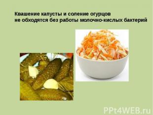 Квашение капусты и соление огурцов не обходятся без работы молочно-кислых бактер