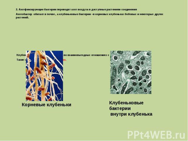 2. Азотфиксирующие бактерии переводят азот воздуха в доступные растениям соединения Азотобактер обитает в почве , а клубеньковые бактерии –в корневых клубеньках бобовых и некоторых других растений. Клубеньковые бактерии находятся во взаимовыгодных о…