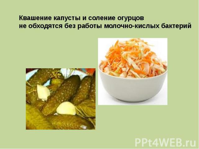 Квашение капусты и соление огурцов не обходятся без работы молочно-кислых бактерий