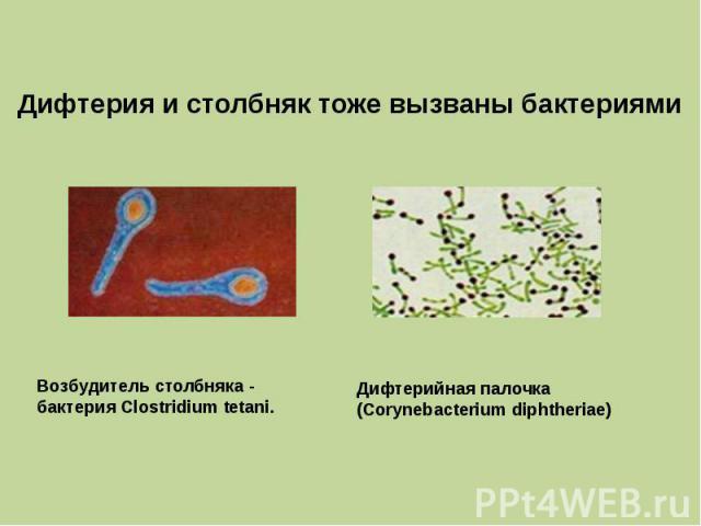 Дифтерия и столбняк тоже вызваны бактериями Возбудитель столбняка - бактерия Clostridium tetani. Дифтерийная палочка (Corynebacterium diphtheriae)