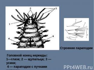 Строение параподии Головной конец нереиды: 1—глаза; 2 — щупальца; 3 —усики; 4 —