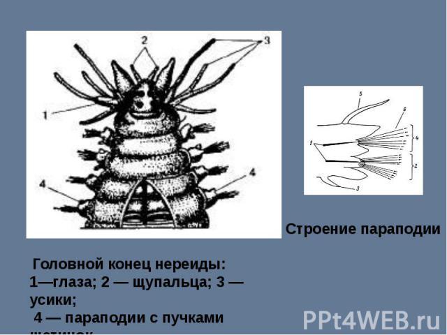 Строение параподии Головной конец нереиды: 1—глаза; 2 — щупальца; 3 —усики; 4 — параподии с пучками щетинок.
