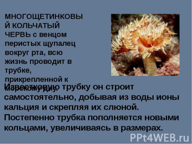 МНОГОЩЕТИНКОВЫЙ КОЛЬЧАТЫЙ ЧЕРВЬ с венцом перистых щупалец вокруг рта, всю жизнь проводит в трубке, прикрепленной к морскому дну. Известковую трубку он строит самостоятельно, добывая из воды ионы кальция и скрепляя их слюной. Постепенно трубка пополн…