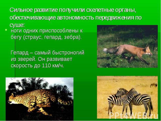Сильное развитие получили скелетные органы, обеспечивающие автономность передвижения по суше: ноги одних приспособлены к бегу (страус, гепард, зебра). Гепард – самый быстроногий из зверей. Он развивает скорость до 110 км/ч.
