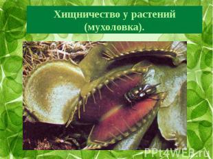 Хищничество у растений (мухоловка).