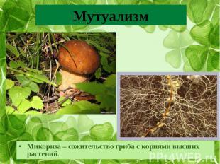 Микориза – сожительство гриба с корнями высших растений.Микориза – сожительство