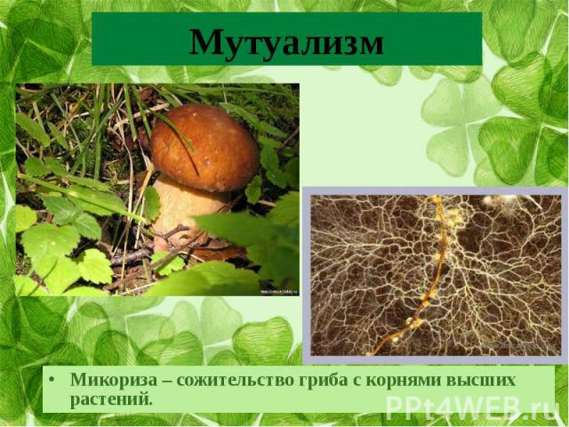 Микориза – сожительство гриба с корнями высших растений.Микориза – сожительство гриба с корнями высших растений.