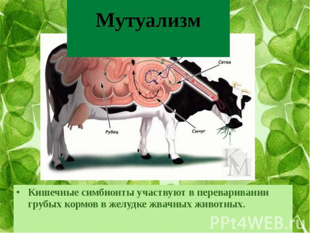 МутуализмКишечные симбионты участвуют в переваривании грубых кормов в желудке жвачных животных.
