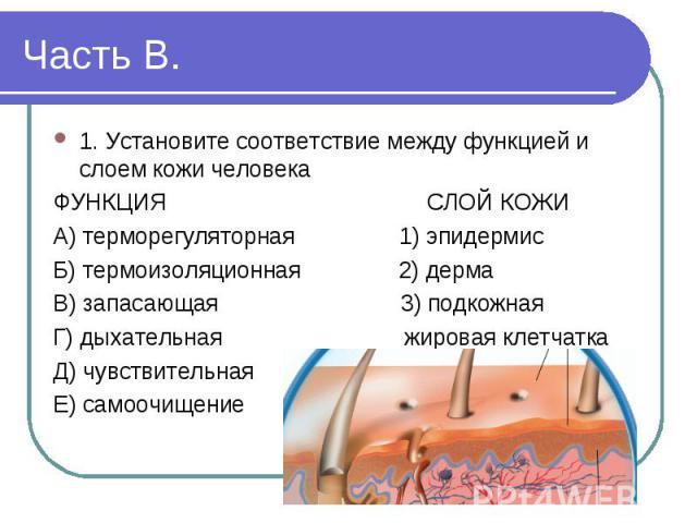 1. Установите соответствие между функцией и слоем кожи человека ФУНКЦИЯ СЛОЙ КОЖИА) терморегуляторная 1) эпидермисБ) термоизоляционная 2) дермаВ) запасающая 3) подкожнаяГ) дыхательная жировая клетчаткаД) чувствительнаяЕ) самоочищение