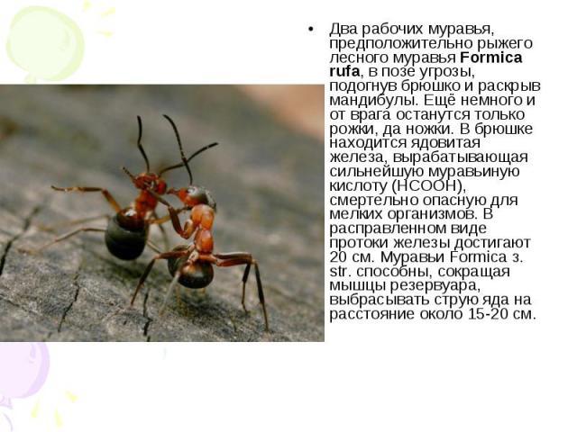 Два рабочих муравья, предположительно рыжего лесного муравья Formica rufa, в позе угрозы, подогнув брюшко и раскрыв мандибулы. Ещё немного и от врага останутся только рожки, да ножки. В брюшке находится ядовитая железа, вырабатывающая сильнейшую мур…