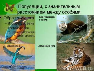 Популяции, с значительным расстоянием между особями Баргузинский соболь Амурский