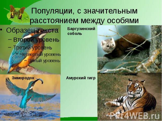 Популяции, с значительным расстоянием между особями Баргузинский соболь Амурский тигр Зимородок