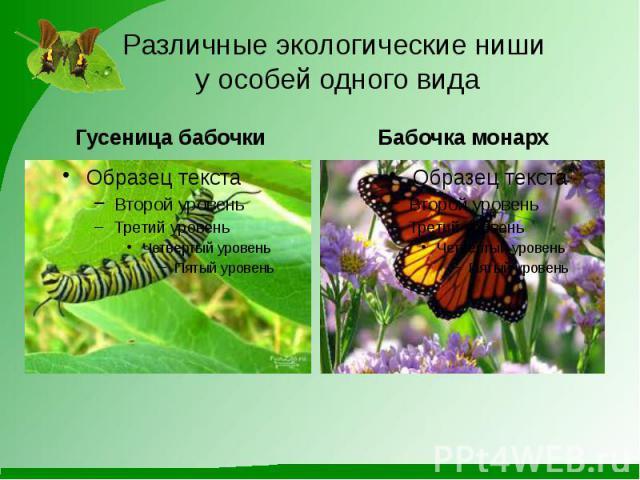 Различные экологические ниши у особей одного вида Гусеница бабочки Бабочка монарх