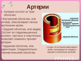 Артерии coстоят из трех оболочек:• Внутренняя оболочка, или интима, обеспечивает