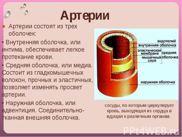 Артерии coстоят из трех оболочек:• Внутренняя оболочка, или интима, обеспечивает легкое протекание крови.• Средняя оболочка, или медиа. Состоит из гладкомышечных волокон, прочных и эластичных, позволяет изменять просвет артерии.• Наружная оболочка, …