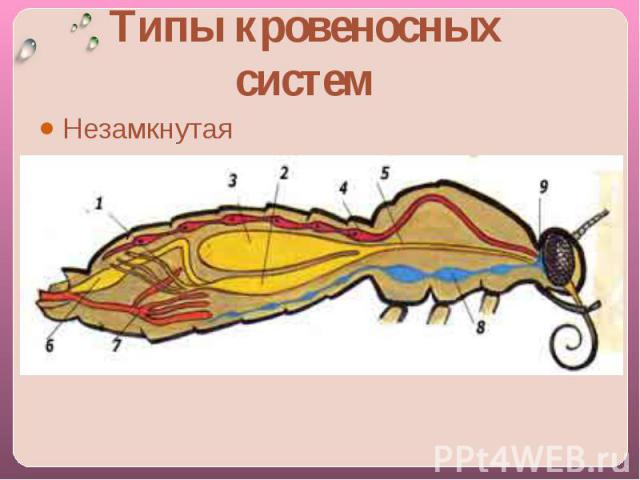 Типы кровеносных системНезамкнутая