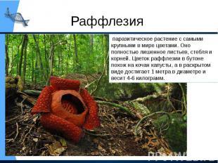 Раффлезия паразитическое растение с самыми крупными в мире цветами. Оно полност