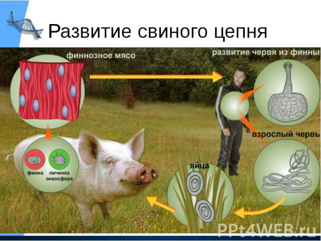 Развитие свиного цепня