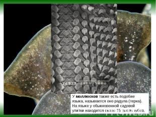 Умоллюсковтакже есть подобие языка, называется оно радула (терка). На языке у