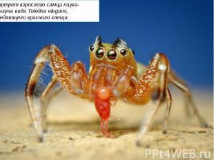 Портрет взрослого самца паука-скакуна вида Tutelina elegans, поедающего красного