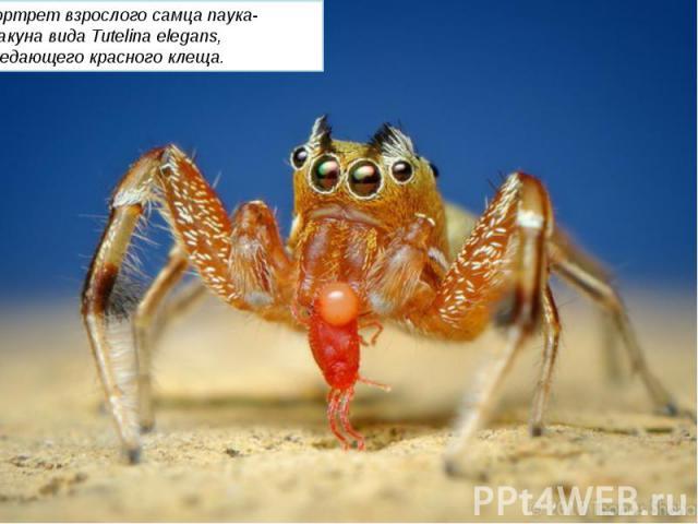 Портрет взрослого самца паука-скакуна вида Tutelina elegans, поедающего красного клеща.